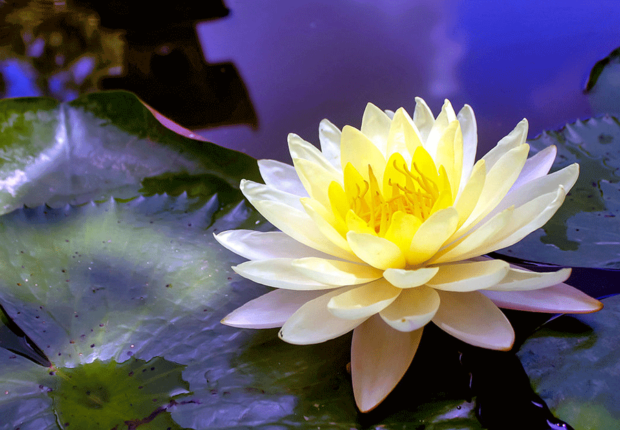 Aquatic life water lily