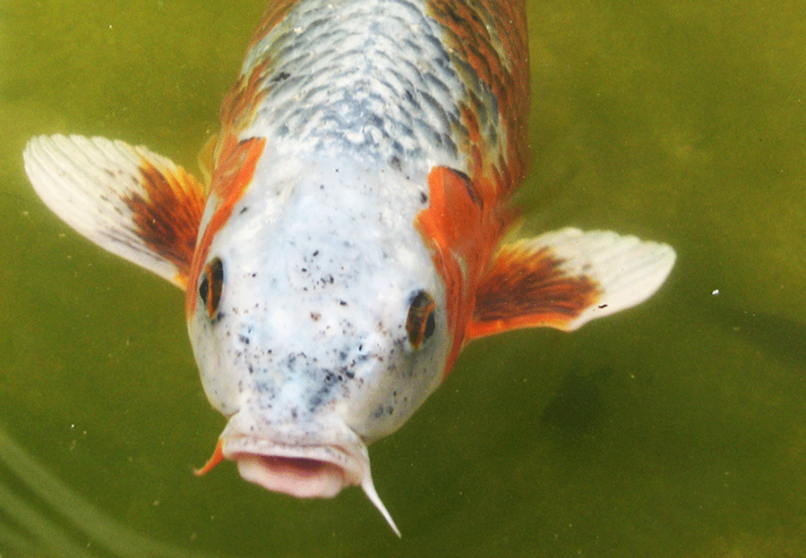 Aquatic life Koi fish
