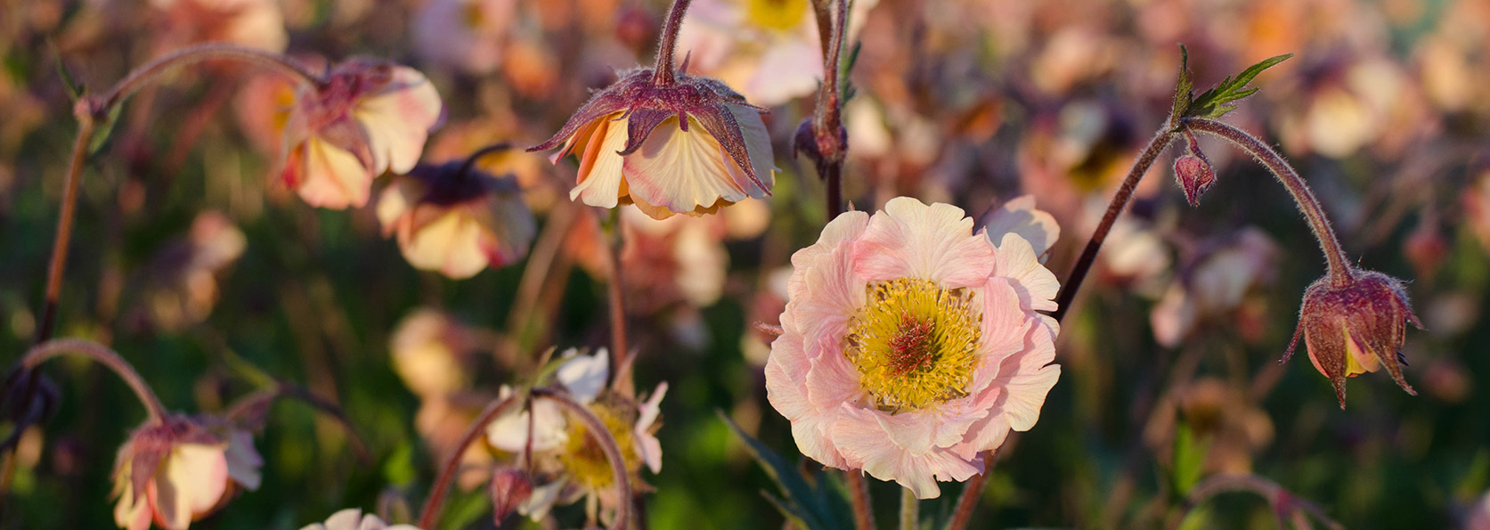 Try an easygoing perennial with all the frills rohslers allendale perennial of the week geumavens mightylinksfo