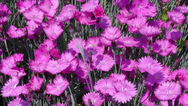 Divinely Spicy Dianthus