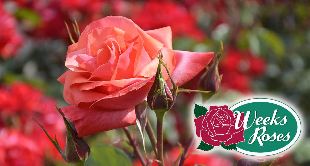Putting Your Roses To Bed This Winter For Beautiful Spring Blooms