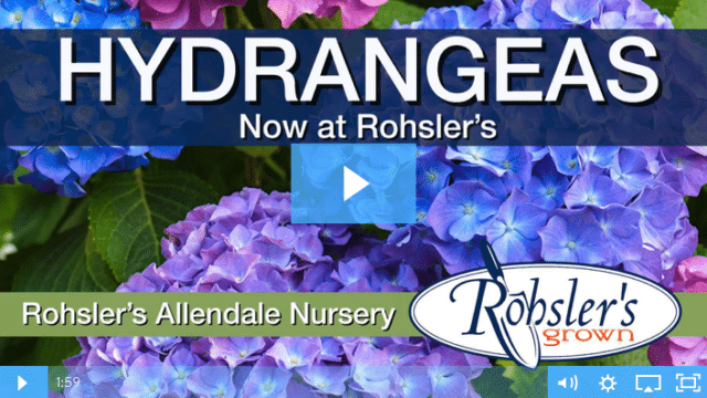 Hydrangeas. Spring Color For The Holidays.
