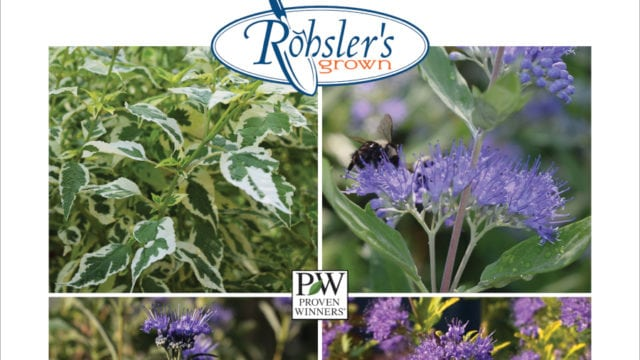 Caryopteris – Plant Of The Week
