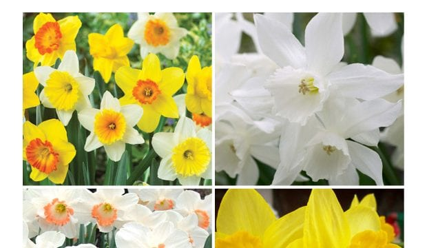 Daffodils – Bulb of the week