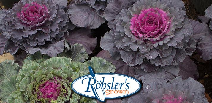 ornamental-cabbage-rg