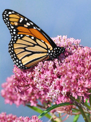 Asclepias-Butterfly