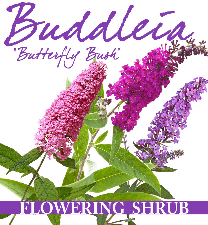 buddleia flower power le plant