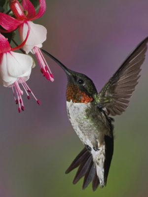 HummingbirdFuchsia