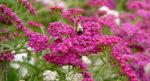 yarrow-bee