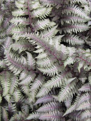 fern-jappainted