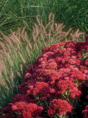 sedumgrass
